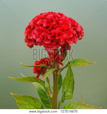 Red cockscomb or chinese wool flower (Celosia argentea)