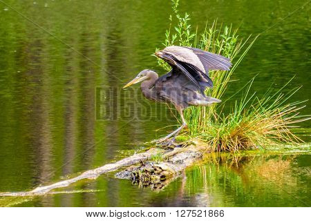 Great Blue Heron (Ardea herodias) standing on a small island in pond. It is the largest North American heron.