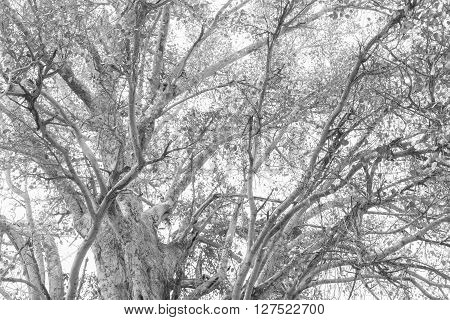 old bodhi tree black and white tone