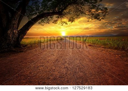 land scape of dustry road in rural scene and big rain tree plant against beautiful sunset sky use for natural background