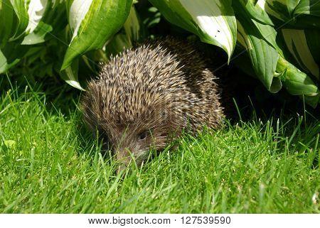 Wild hedgehog  in the garden