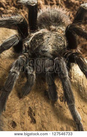 Closeup of mexican black velvet poisonous tarantula