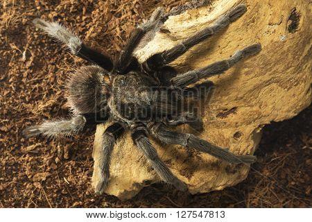Mexican red rump poisonous tarantula Brachypelma vagans