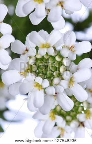 Candytuft Iberis white sempervirens flower closeup in sunshine