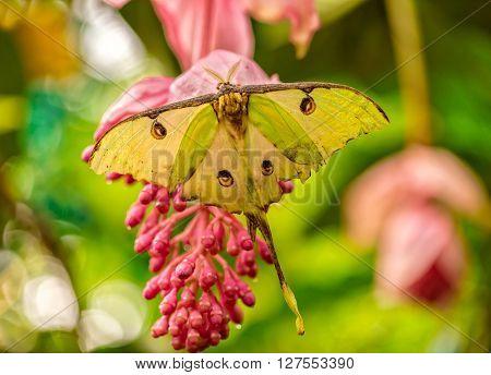 Actias Selene butterfly on flower blossom