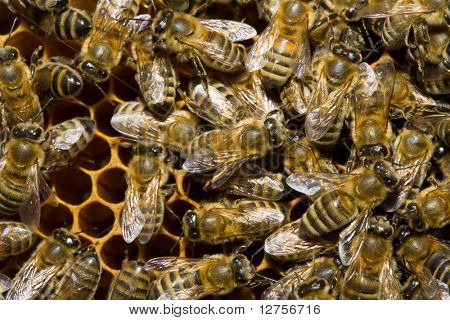Close up view of working bee on honeycells.