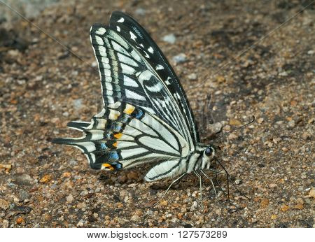A close up of the butterfly swallowtail (Papilio xuthus) on sand.
