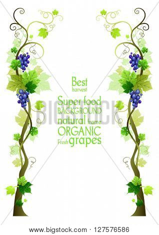 Frame with grape. The natural design banner,ticket, leaflet and so on. Place for text. Isolated elements.