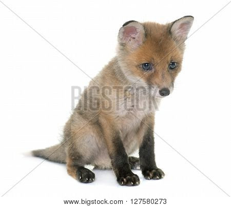fox cub in front of white background ** Note: Soft Focus at 100%, best at smaller sizes
