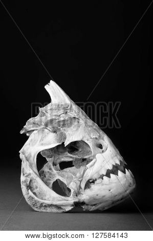 Real piranha skeleton in black and white with room for your type.
