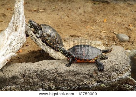 Photo of two turtles in the zoo poster