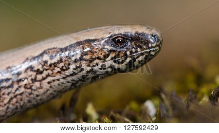 Slow worm (Anguis fragilis) close-up of head. A legless lizard with bold pattern in the family Anguidae