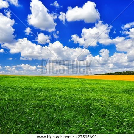 The picturesque field of young wheat against the cloudy blue sky in a summer sunny day. Summer landscape.