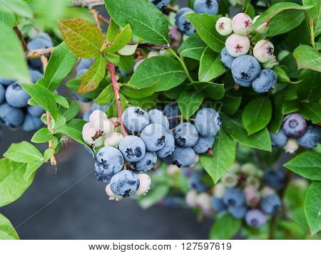 Ripe blueberries on the bush.