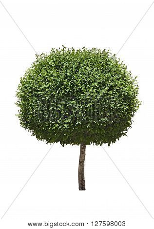 Green topiary tree isolated over white background