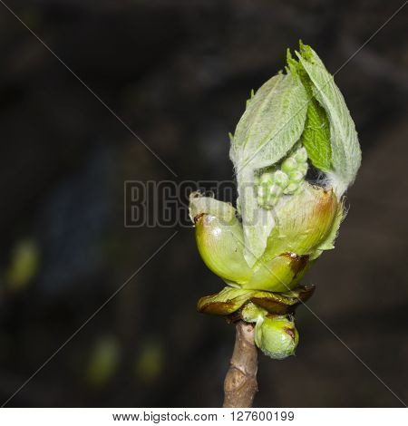 Horse-chestnut aesculus hippocastanum bud on branch with bokeh background macro selective focus shallow DOF