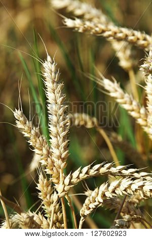 Closeup of a panicle in a grain field