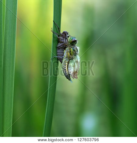Dragonfly birth and metamorphosis of nymphs on leaf cattail