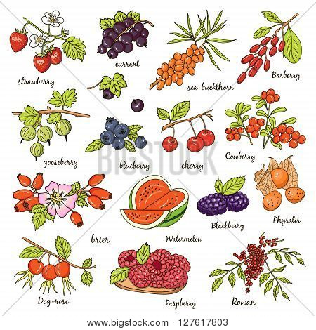 Collection of berries strawberry, currant sea-buckthor, gooseberry blueberry cherry brier blackberry. Vector illustration of berries for design menus, recipes and packages product.