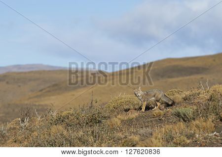 South American Grey Fox (Lycalopex fulvipes) on a hillside in Torres del Paine National Park in the Magallanes region of southern Chile.