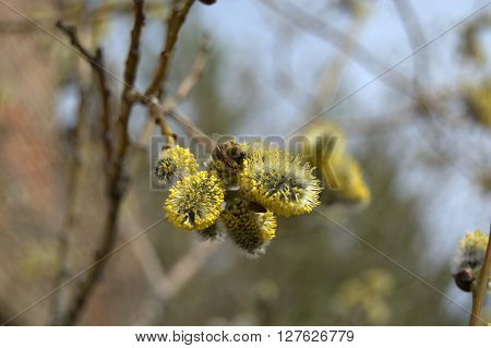 Flowering pussy-willow branch with creeping bee. Blooming osier. Spring background photo.