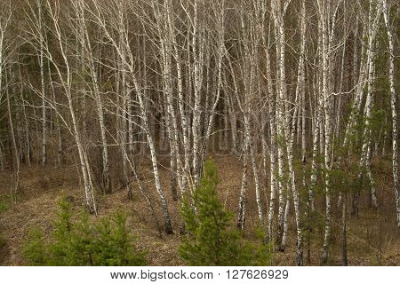 Spring birch forest in Russian Sibiria. Leafless trees.