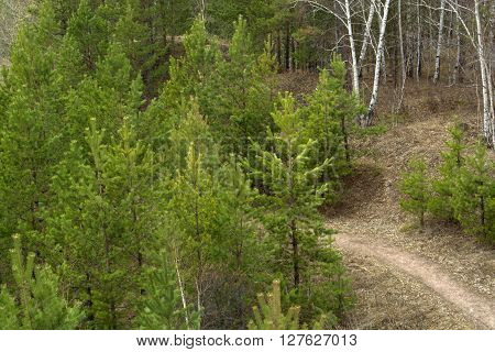 Spring young pine trees. Path in a forest.