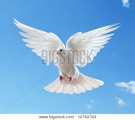 Dove in the air with wings wide open in-front of the sun poster