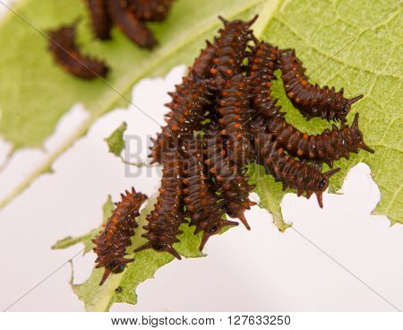 Young Pipevine Swallowtail caterpillars grouped on a Dutchman's Pipe leaf, eating into a skeleton