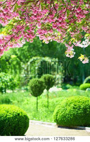 Sakura blossoms in a ornamental garden, beautiful spring landscape at bright day
