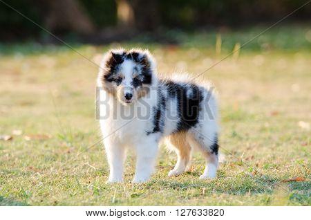 Shetland Sheepdog puppy standing on grass field.