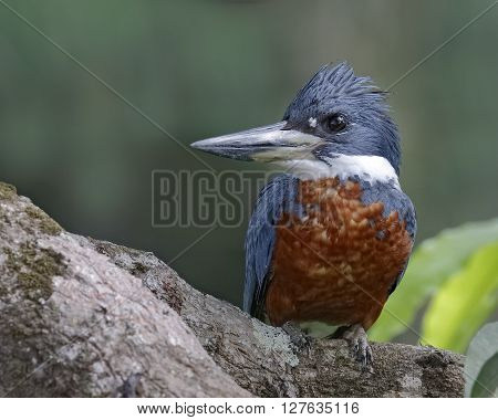 Male Ringed Kingfisher (Megaceryle torquata) perched in a tree - Panama poster