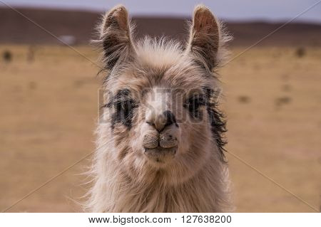 Portrait of an alpaca. A cloe up to a lama. Lamas and alpacas are very popular in Bolivia and Peru for their wool and meat