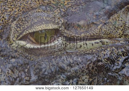 Close up of a crocodile's head in the sand