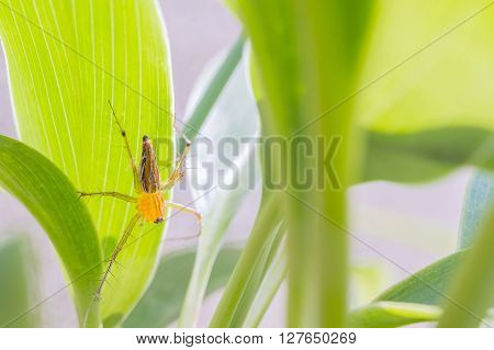 the lynx spider on the back of the leaf