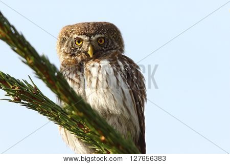 eurasian pygmy owl perched on spruce ( Glaucidium passerinum ) poster
