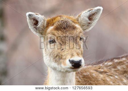 portrait of curious fallow deer doe ( Dama dama )