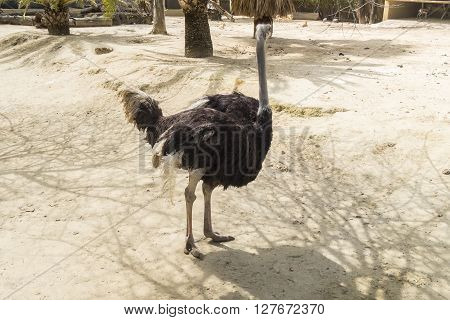 Struthio camelus Ostrich, resting relaxed under the sun