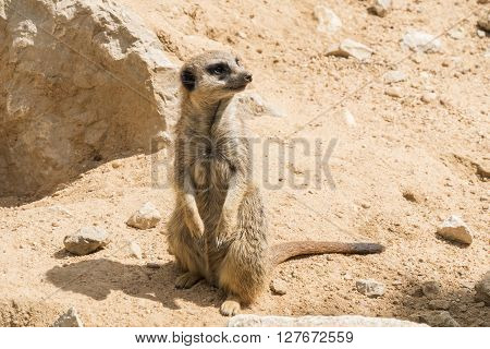 Suricata suricatta Meerkat, resting relaxed looking something
