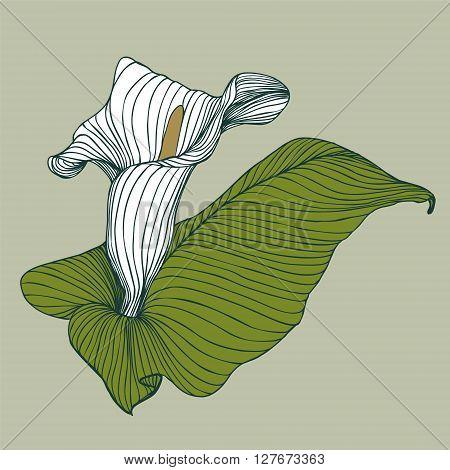 vector illustration - flower detailed calla flower