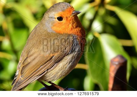 Robin or Robin Redbreast is the English Robin Erithacus Rubecula.