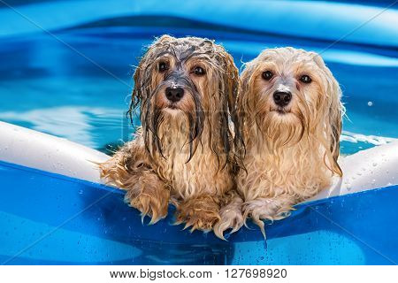 Two cute wet havanese dog rely on the edge of an inflatable outdoor pool in a hot summer afternoon poster