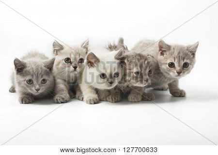 Portrait of group of young Scottish cats . Studio shot. Isolated.