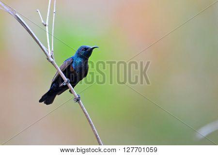 Beautiful Purple Sunbird