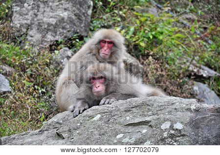 Two Japanese macaque snuggling up to stay warm during autumn ** Note: Visible grain at 100%, best at smaller sizes