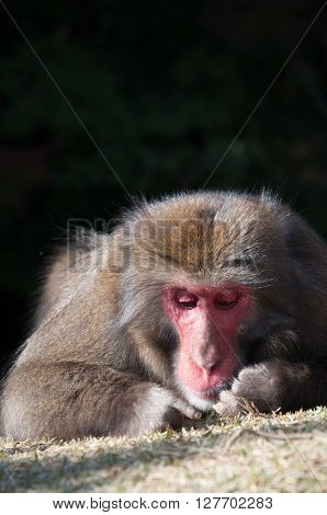 A portrait shot of wild Japanese Macaque