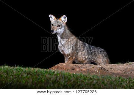Golden Jackal Or Fox
