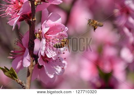 Pollination Of Flowers By Bees Peach.