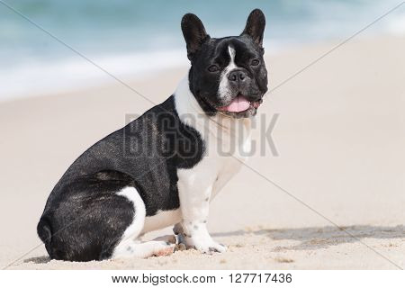 Adorable french bulldog seated on the beach