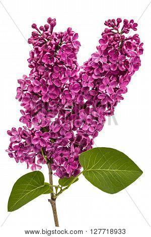 Twig purple lilac Syringa vulgaris isolated on white background